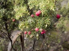 Mountain Berry (Baractus) Tags: mountain berry mountainberry ben lomond national park tasmania australia pepperbush inala nature tours pepper bush adventures