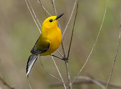 Prothonotary Warbler (snooker2009) Tags: prothonotary warbler bird nature wildlife pennsylvania migration yellow