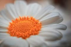 Margarita macro con color (cesarpc1975) Tags: flor margarita primavera macrofotografía