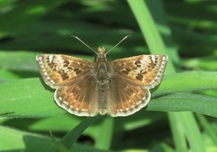 Dingy Skipper (brianwaller703) Tags: dingy skipper