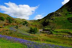 Rannerdale, Crummock Water, May 2018 (14) (Janpram) Tags: landscape rannerdale rannerdalebluebells bluebells lakedistrict england englishlandscape britishlandscape nature walkinglandscape trees gorse