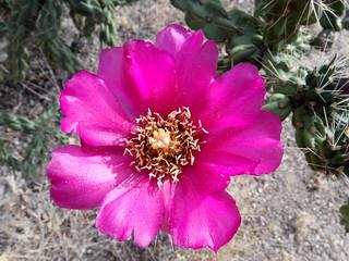 cane cholla cactus flower