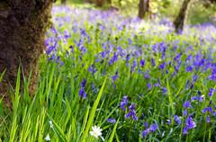 One White Flower (Peaf79) Tags: bluebells flowers england englishspring tarrsteps exmoor onewhiteflower tree green blue