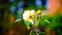 Yellow Rose - 5278 (ΨᗩSᗰIᘉᗴ HᗴᘉS +18 000 000 thx) Tags: fuji fujifilmgfx50s fujifilm yellow color bokeh flora flower hensyasmine namur belgium europa aaa namuroise look photo friends be wow yasminehens interest intersting eu fr greatphotographers lanamuroise tellmeastory flickering