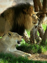 African Lions (Thanks for 6M+ views! Pix.by.PegiSue) Tags: africanlions lioness lion bigcats allrightsreservedcopyrightpixbypegisue