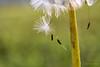 Dangling Dandy (Back Road Photography (Kevin W. Jerrell)) Tags: weeds dandelion dandy macro macrolife closeups backyardphotography nikond7200 summer
