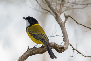 Australian Golden Whistler : Evening portrait