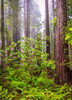 Foggy Rhododendron Forest Revisited (optimalfocusphotography) Tags: northerncalifornia california usa landscape flowers trees nature nationalpark reedit redwoods fog redwoodnationalpark forest rhododendron mist