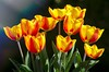 Shining in the sunlight (Martin Bärtges) Tags: red frühling sunshine sun green orange nikon spring blissoms blüten blumen nature farbenfroh colorful tulpen tulips