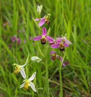 Bee Orchid (Ophrys apifera var. flavescens) & Bee Orchid (Ophrys apifera) 8.6.2018 (1)