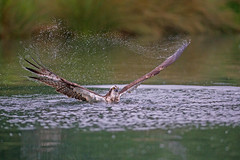 Osprey Early Morning Shower (Artisanart) Tags: osprey bird water horn mill trout farm nature wildlife rutland 28
