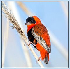 Orange Bishop (Ed Sivon) Tags: america canon nature lasvegas wildlife wild western southwest desert clark county vegas bird henderson nevada preserve