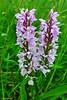 einheimische Orchidee in der Sistig-Krekeler-Heide (mama knipst!) Tags: orchidee orchid sisstigkrekelerheide natur eifel juni