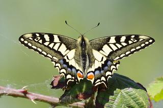 IMGP9122c  Swallowtail, Strumpshaw Fen, May 2018