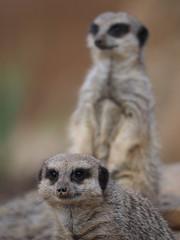 Guard Duty (DaveKav) Tags: meerkats meerkat yorkshirewildlifepark doncaster yorkshire guard guardduty