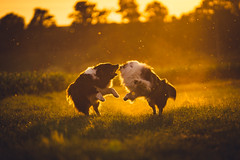 Fight Club (der_peste (on/off)) Tags: aussies australianshepherd dogs backlight backlit bokeh dof dogfight fur light shadow sunset sundown