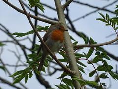DSC08154 (guyfogwill) Tags: 2018 bird birds devon erithacusrubecula europeanrobin gbr guyfogwill june leechwellgarden robin totnes unitedkingdom