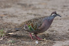 Common Bronzewing (Phaps chalcoptera) (Uhlenhorst) Tags: 2010 australia australien animals tiere birds vögel travel reisen coth coth5