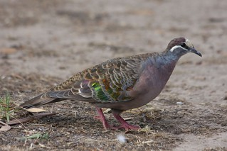 Common Bronzewing (Phaps chalcoptera)
