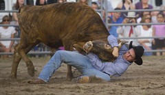(emmett.hume) Tags: rodeo wrestling steer cowboy competition conflict strength composure coolness expertise ability hat style arena athletics sport professionalathlete animal subjugation contest control summer equine sports