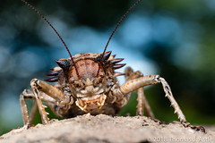 Armored Katydid (Tom's Macro and Nature Photographs) Tags: macrophotography insects katydids tettigoniidae orthoptera armor gorongosa mozambique africa