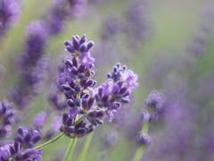 in dreams (de_frakke) Tags: lavendel lavande lavender lavanda bloemen flowers paars violeta blue purple