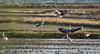 Animación en los arrozales (dnieper) Tags: arrozales garzareal garceta laalbufera catarroja valencia spain españa