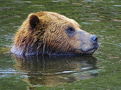 Alaskan Brown Bear (brucecarlson66) Tags: brown bear swim swimming fur eye black nose green water color short ear wild animal bird barnacle tour holland america alaska cruise ketchican ursus arctos alascensis order carnivora united states grizzly north nocturnal den hibernate salmon food omnivorous intense gaze look wet soak cool off alaskan graceful solitary ripple wake