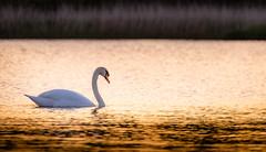 Schwanenliebe (Beppe Rijs) Tags: sonne sonnenuntergang warm rot herz stimmung leidenschaft schwan vogel reflektion wasser ufer abend sonnenschein luft tag licht fauna dof
