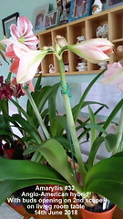 Amaryllis #33 Anglo-American hybrid With buds opening on 2nd scape on living room table 14th June 2018 (D@viD_2.011) Tags: amaryllis 33 angloamerican hybrid with buds opening 2nd scape living room table 14th june 2018