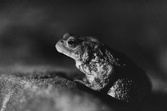 Night guest (ZeGaby) Tags: blackandwhite champagne marne naturephotography noiretblanc pentax100mm pentaxk1 toad fontainesuray grandest france fr