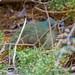 Satin Bower Bird Encounter 4 - Ptilonorhynchus violaceus - Barton - ACT - Australia - 20180611 @ 11:15 to 12:00