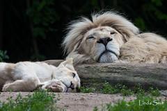 DSC_0362-1-3 (Linda Smit Wildlife Impressions) Tags: african white lion lioness lioncubs cubs wildlife endangered cats bigcats nature animal carnivore cecil photography nikon d750 big cat mammal zoo damnéville amnéville
