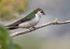 Violet-green Swallow, Male (Eric_Z) Tags: violetgreenswallow male swallow canoneos7dmkii ef100400mmf4556lisiiusm colonyfarmregionalpark coquitlam britishcolumbia canada