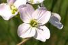 Cuckoo Flower (Robert & Pamela) Tags: rspb lochlomond macro macrounlimited closeup flower scotland