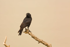 Crow (Zawodowy Fotograf) Tags: crow bird nature black canon 5d mark iii ef 100400mm l bayonne new jersey hudson county