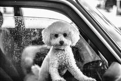 Two Cute Los Angeles Dogs (Thomas Hawk) Tags: america california losangeles southerncalifornia usa unitedstates unitedstatesofamerica volvo auto automobile bw car dog dogs poodle poodles fav10 fav25