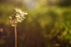 Trying to Fly Free (flashfix) Tags: may292018 2018inphotos ottawa ontario canada nikond7100 40mm flashfix flashfixphotography macro 2minutemacro bokeh green nature mothernature sunlight sunshine plant weed dandelion