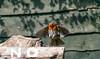 Robin in flight (Steve (Hooky) Waddingham) Tags: bird british countryside nature wild wildlife song garden flight photography
