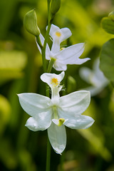 Calopogon tuberosus forma albiflorus (Common Grass-pink orchid - white form) (jimf_29605) Tags: calopogontuberosusformaalbiflorus commongrasspinkorchid whiteform boggarden greenville southcarolina sony a7rii 90mm