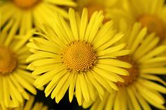 Nevena Uzurov - Delicate petals (Nevena Uzurov) Tags: flower petals yellow garden nature spring april nevenauzurov serbia macro