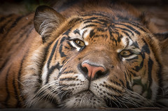 Lying Low (helenehoffman) Tags: cub tiger felidae sandiegozoosafaripark bigcat mammal animal sumatrantiger carnivore sumatra pantheratigrissumatrae conservationstatusendangered alittlebeauty coth specanimal ngc coth5 fantastic nature