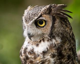 Great Horned Owl, captive