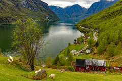 Otternes (cantdoworse) Tags: aurlandsfjorden otternes fjord mountains sheep farm road waterfall norway landscape canon 6d