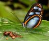 Clearwing butterfly, Oleria onega janarilla (Ecuador Megadiverso) Tags: amazon andreaskay butterfly clearwing ecuador glasswing ithomiini nymphalidae oleriaonegajanarilla rainforest