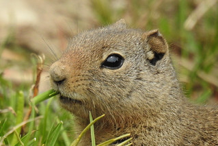 Teton - Squirrel Close Up