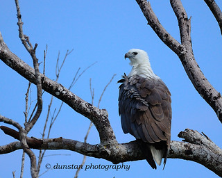 White-bellied Sea Eagle at Kumana NP, Sri Lanka