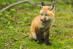 IMGL1323 Pugwash Red Fox Kit(s) (Wallace River) Tags: foxes novascotia pugwashfoxes redfoxes