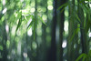 there are many options... (Lamson**NG) Tags: hawaii bamboos forest bambooforest hike maui green greenery lamson bokeh