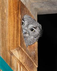 Peek-a-boo (dan.weisz) Tags: westernscreechowl owl raptor tucson bird